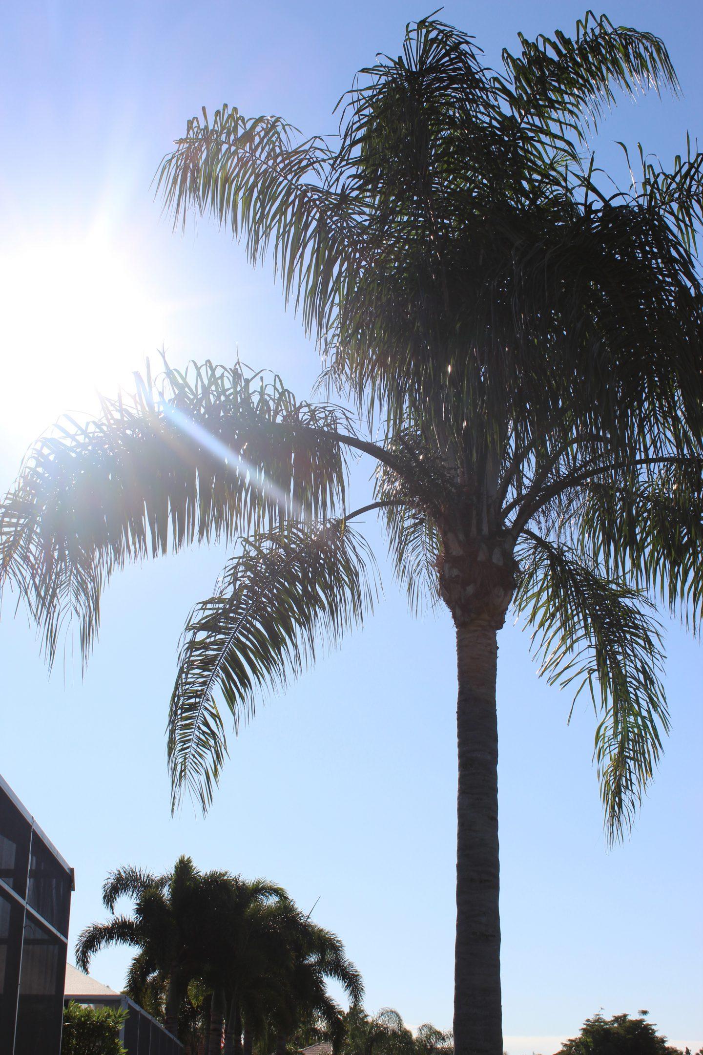 Bellezza Corner palm tree